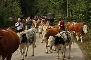 KRAVJI BAL BOHINJ 2016 (1 dan) Slovenija