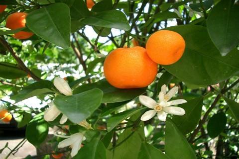 PO MANDARINE (obiranje Mandarin na Neretvi) - 2 dni